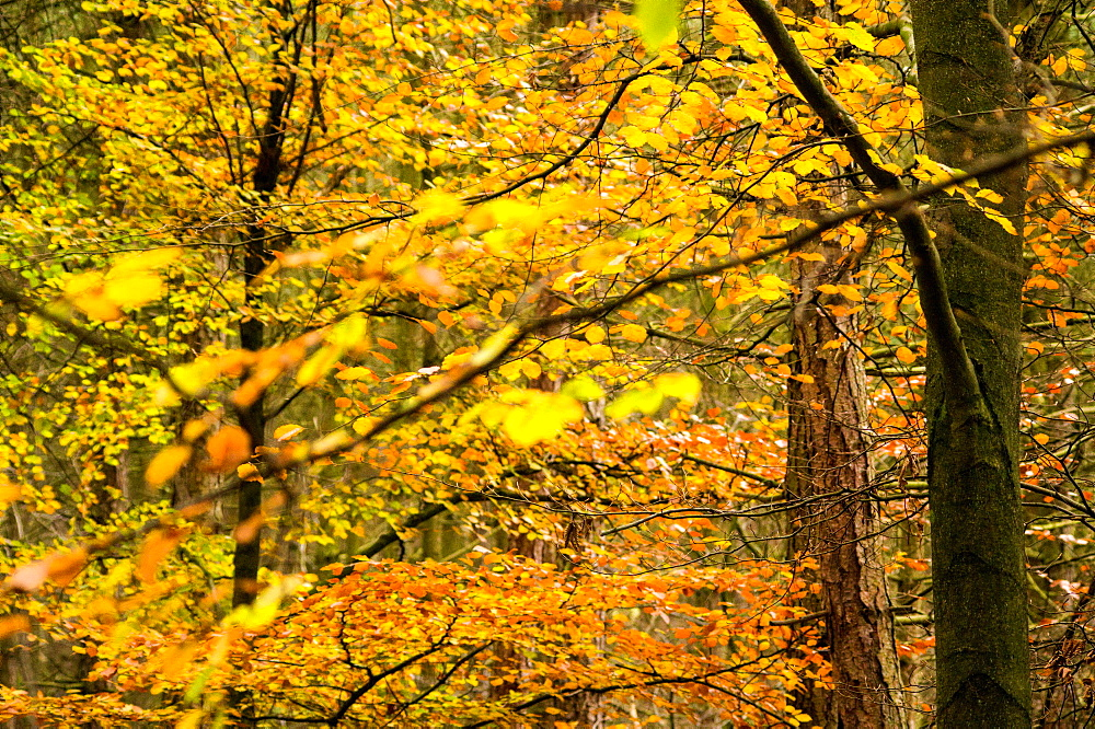 Trees in autumn, Gragg Vale, Calder Valley, Yorkshire, England, United Kingdom, Europe - 1209-29