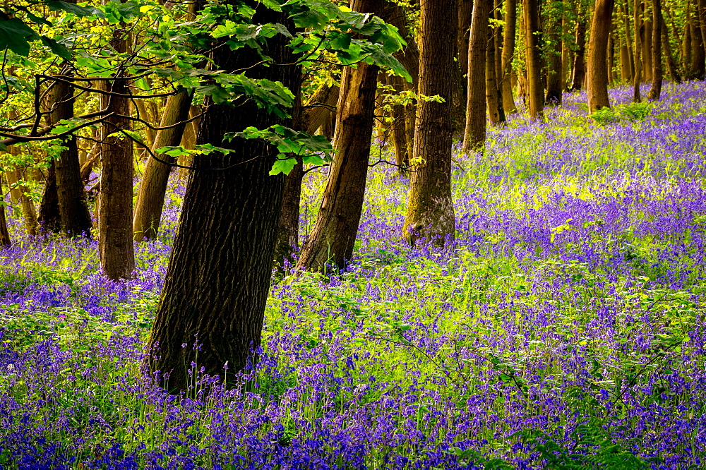 Bluebells, High Littleton Woods, Somerset, England, United Kingdom, Europe