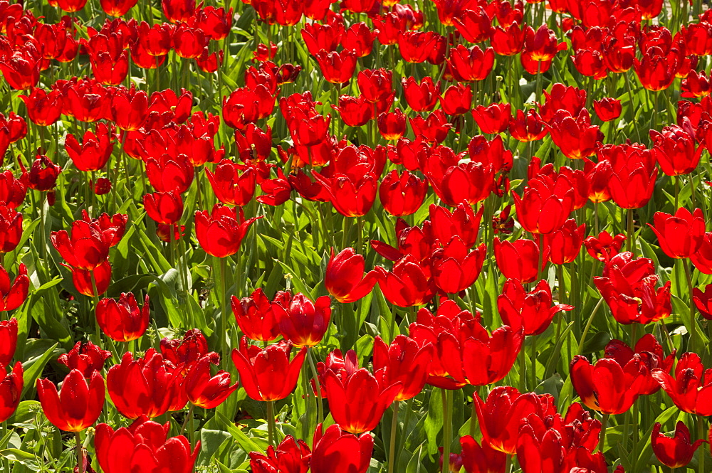 Field of Dutch tulips near Amsterdam, The Netherlands, Europe