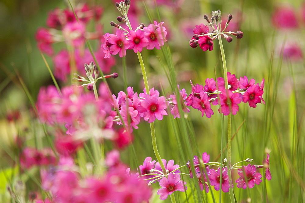 Pink flowers, United Kingdom, Europe