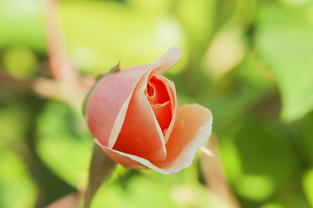 Rose bud bursting into flower, United Kingdom, Europe