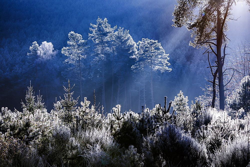 Frost covered trees in the forest in the commune of Baerenthal, in the Moselle region, France, Europe - 1213-102