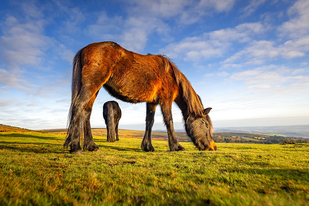 Ponies grazing in Dartmoor National Park, England, Europe