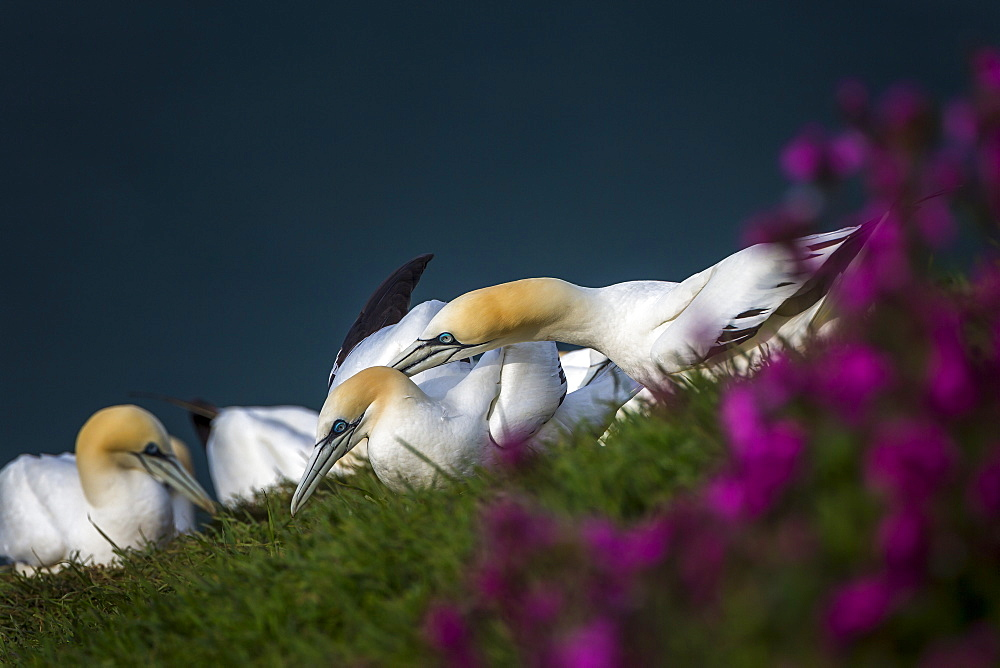 Gannets (Morus bassanus) at sunset squabbling over territory on Bempton Cliffs, Yorkshire, England, United Kingdom, Europe