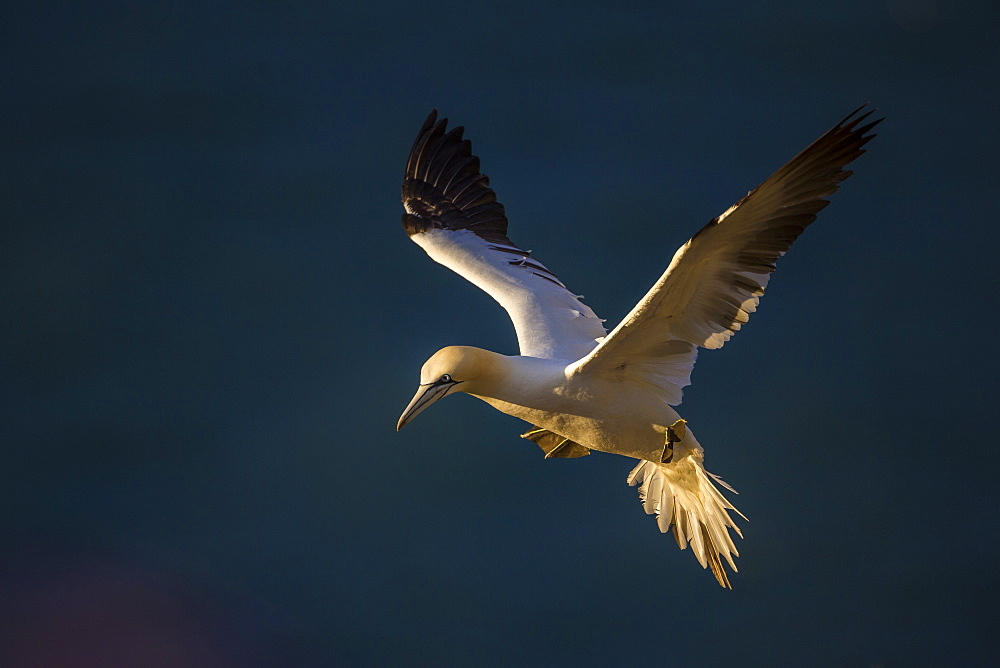 Gannet (Morus bassanus) in flight at sunset on Bempton Cliffs, Yorkshire, England, United Kingdom, Europe