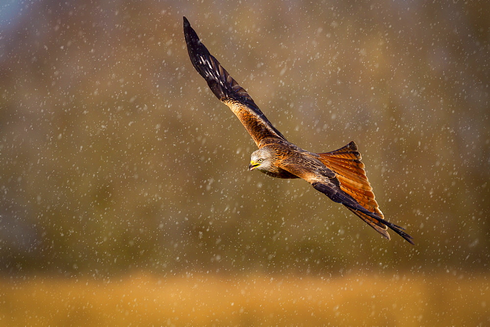 Red kite (Milvus milvus) in flight during a snow shower, Rhayader, Wales, United Kingdom, Europe - 1213-34