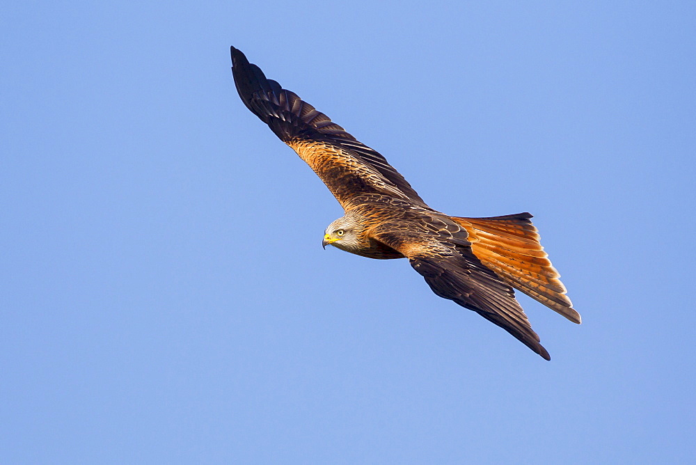 Red kite (Milvus milvus) in flight, Rhayader, Wales, United Kingdom, Europe