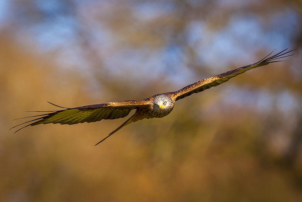 Red kite (Milvus milvus) in flight, Rhayader, Wales, United Kingdom, Europe - 1213-36