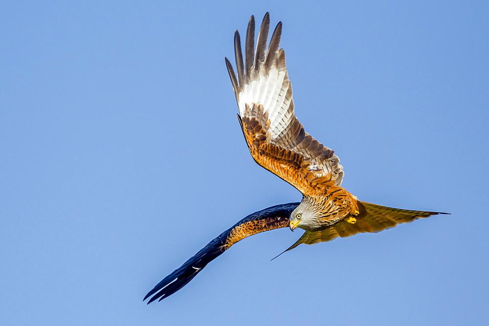 Red kite (Milvus milvus) in flight preparing to dive, Rhayader, Wales, United Kingdom, Europe - 1213-37