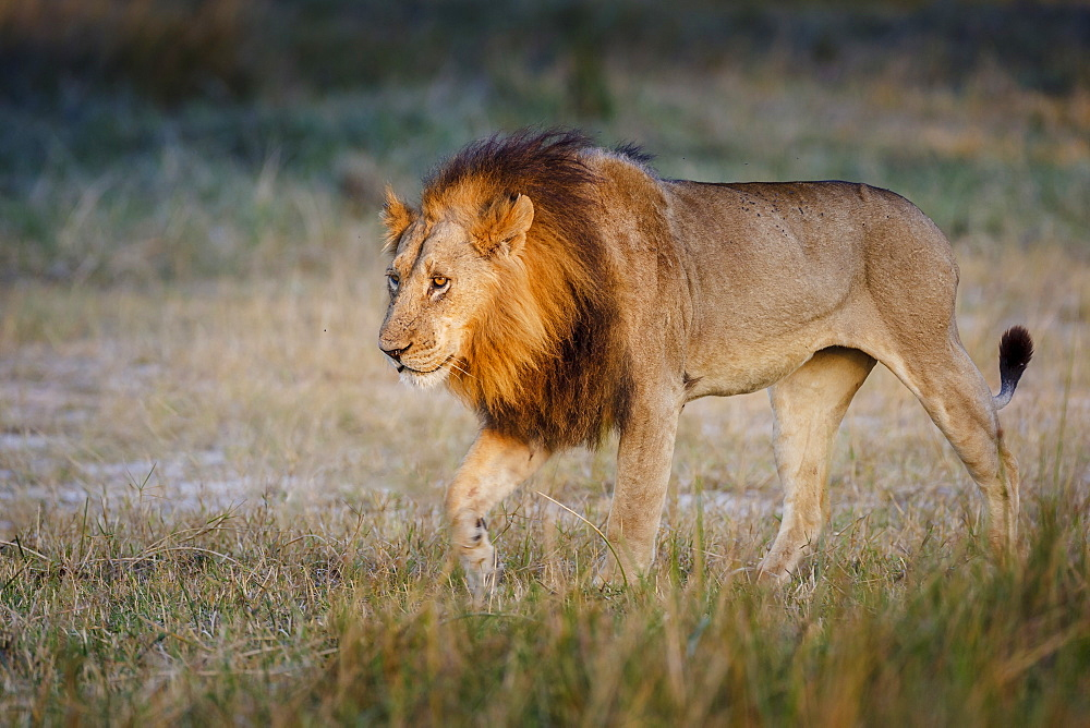 Male lion (Panthera leo), Moremi, Okavango Delta, Botswana, Africa