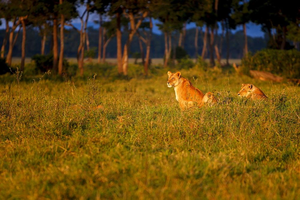 Lions (Panthera leo) resting at sunrise, Masai Mara, Kenya, East Africa, Africa - 1213-41