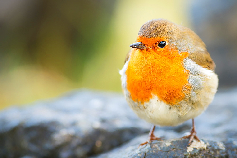 Robin, garden bird, Scotland, United Kingdom, Europe - 1216-107