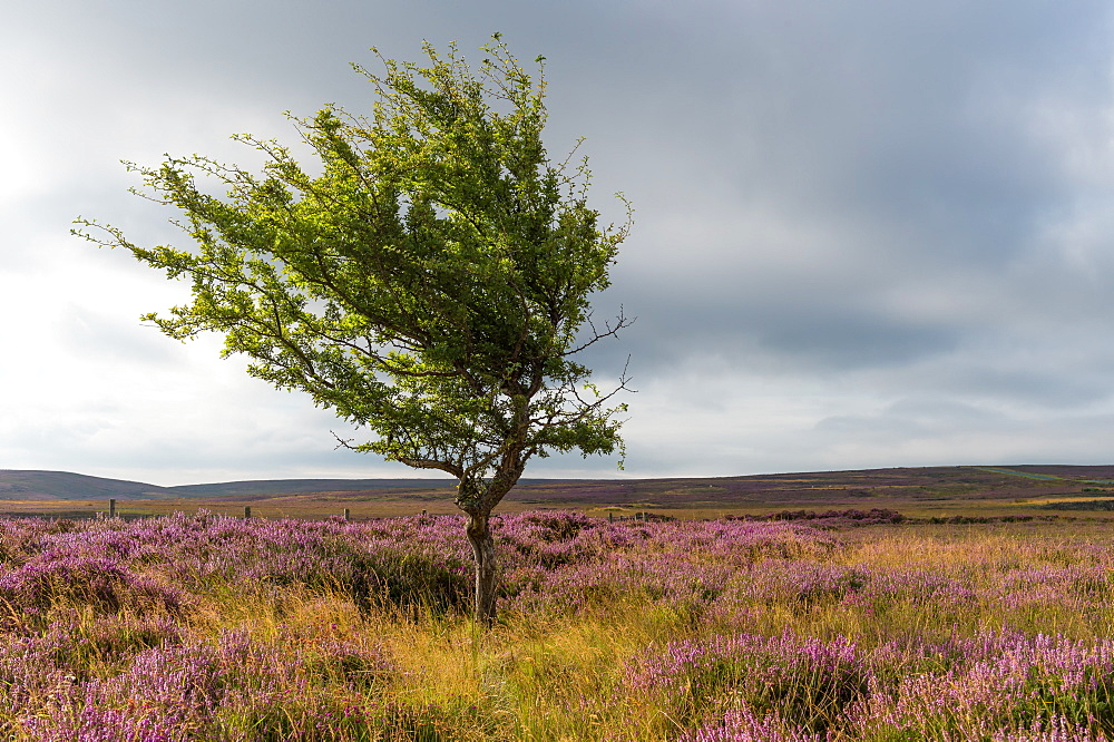 Lone tree amongst the heather, Yorkshire Moors, Yorkshire, England, United Kingdom, Europe