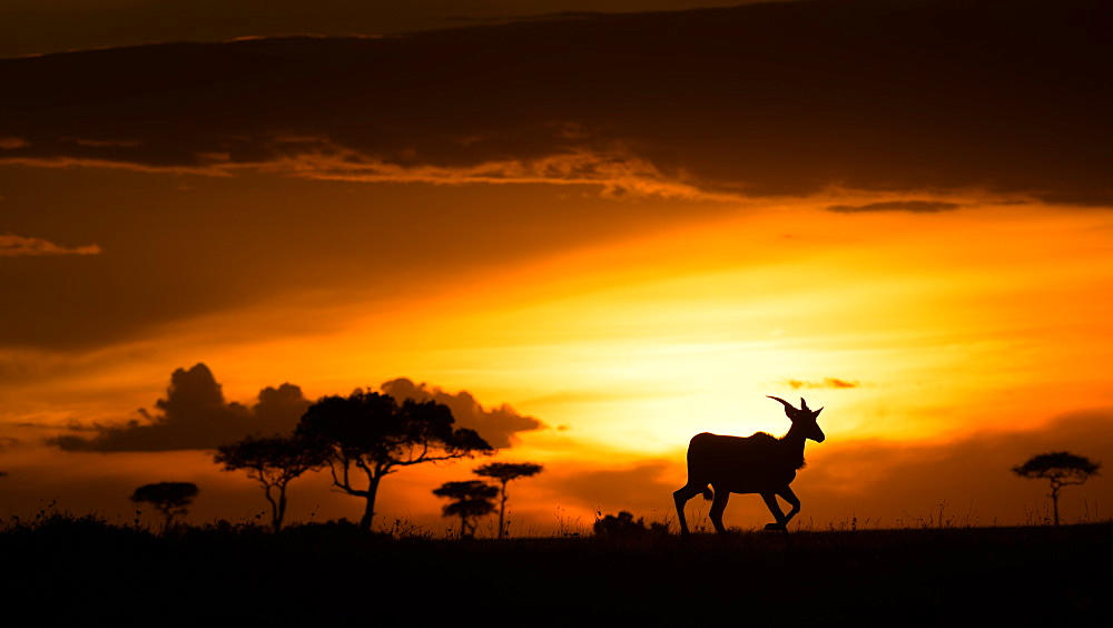 Eland at sunset, Masai Mara, Kenya, East Africa, Africa