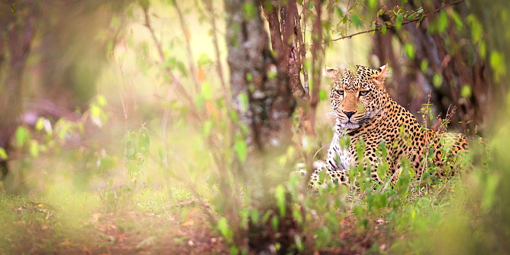 Leopard, Masai Mara, Kenya, East Africa, Africa - 1216-184