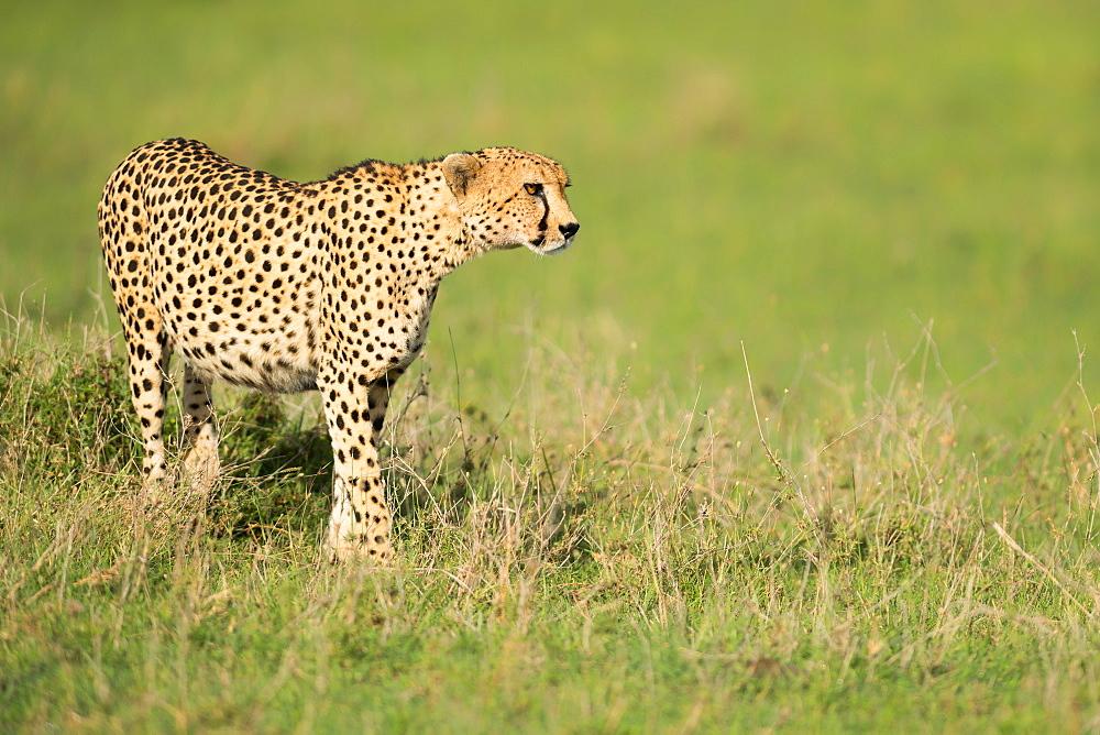 Cheetah stalking, Masai Mara, Kenya, East Africa, Africa