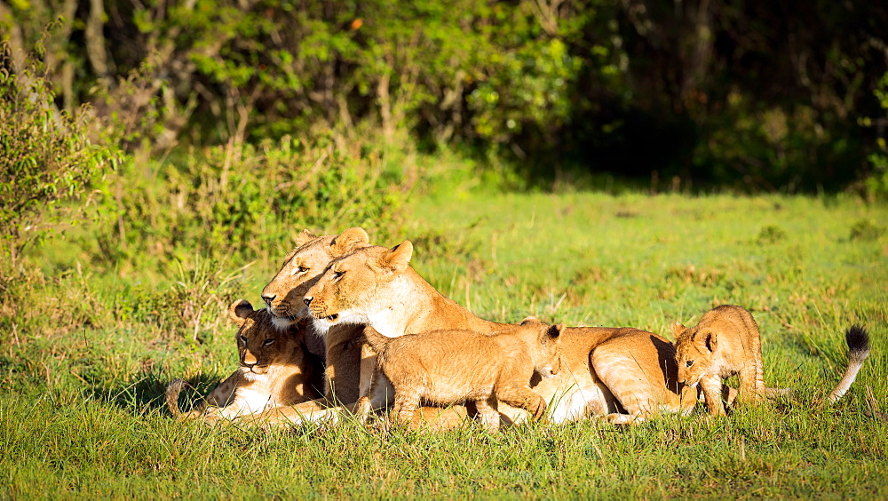 Lioness and cubs, Masai Mara, Kenya, East Africa, Africa - 1216-189