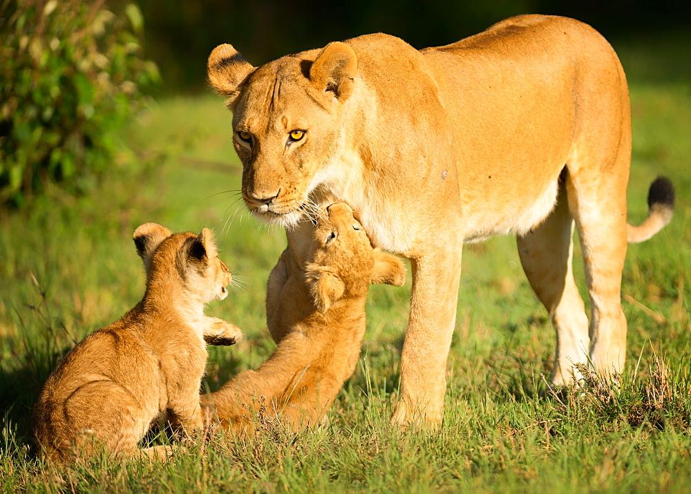 Lioness and cubs, Masai Mara, Kenya, Africa - 1216-190