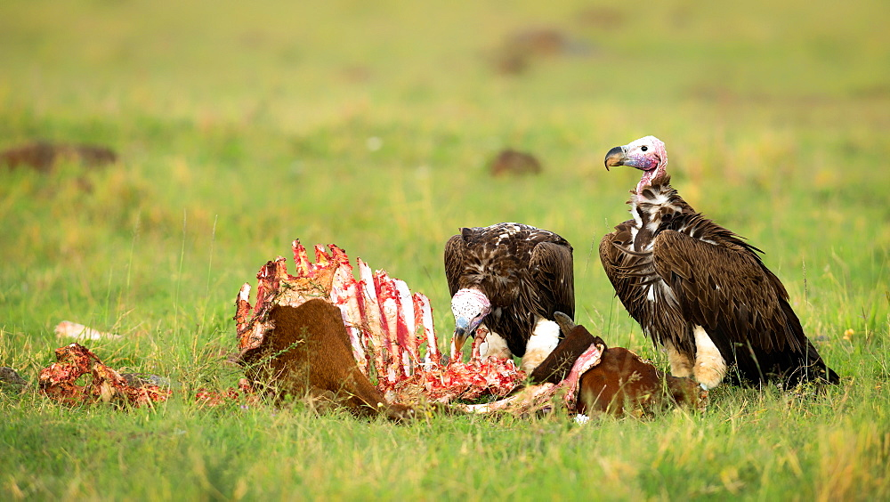 Lappet faced vultures on a kill, Masai Mara, Kenya, East Africa, Africa