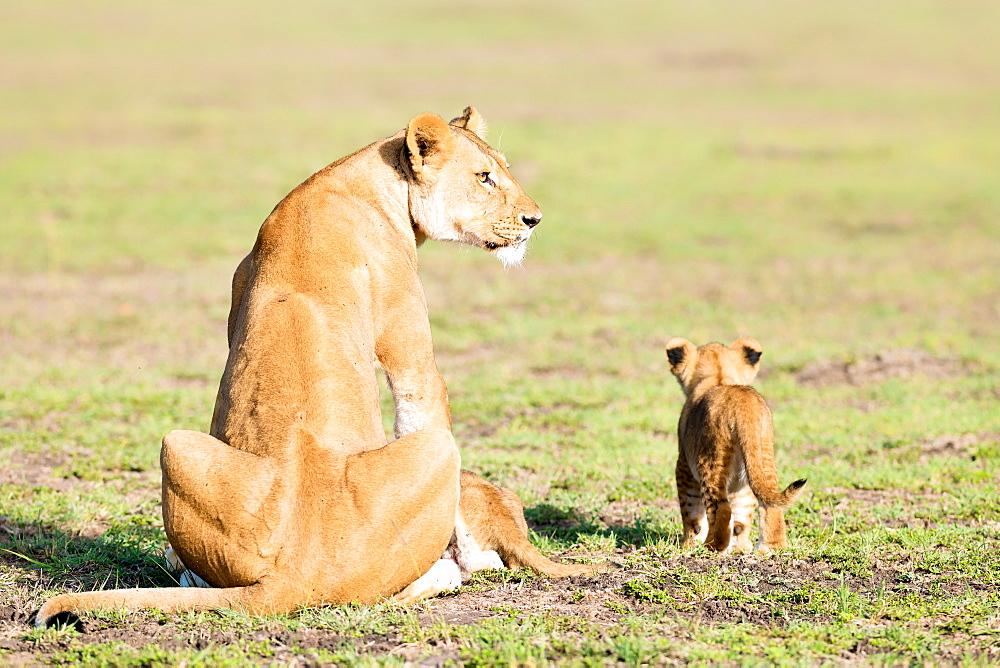 Lioness and cubs, Masai Mara, Kenya, Africa - 1216-200
