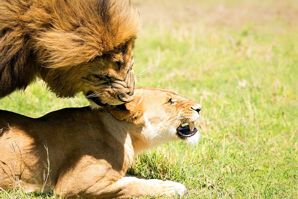 Mating Lions, Masai Mara, Kenya, East Africa, Africa