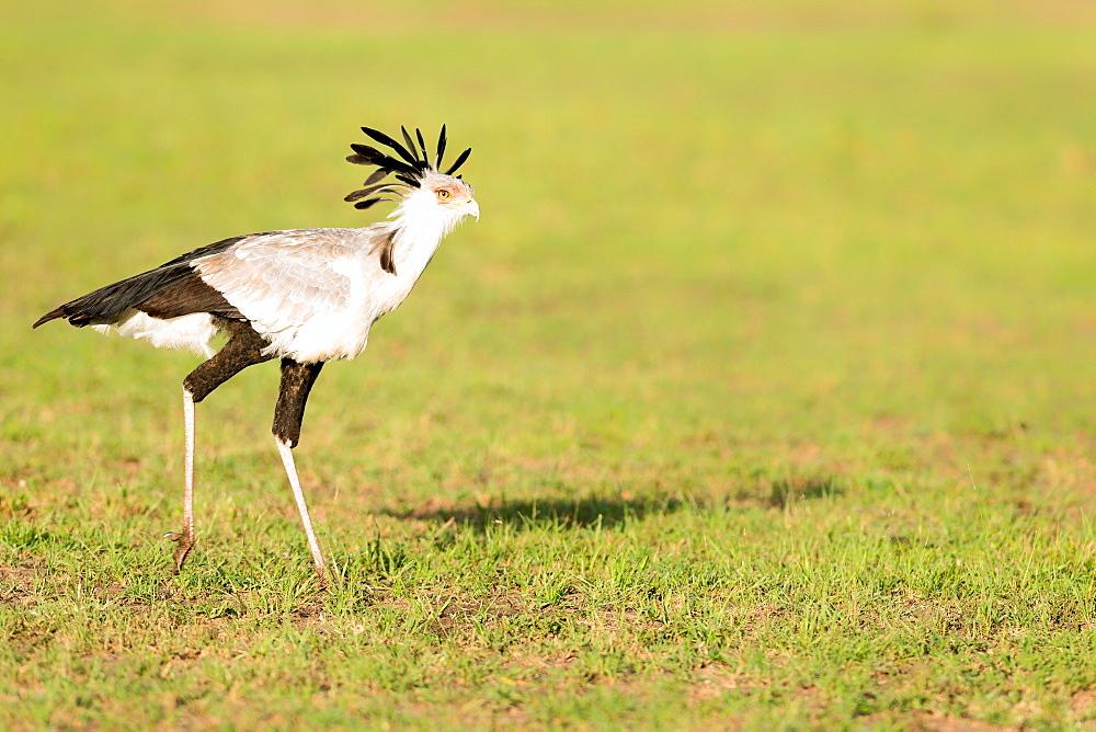 Secretary bird, Masai Mara, Kenya, East Africa, Africa - 1216-204