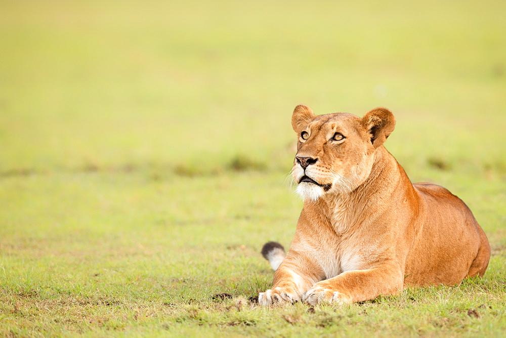 Lioness, Masai Mara, Kenya, East Africa, Africa