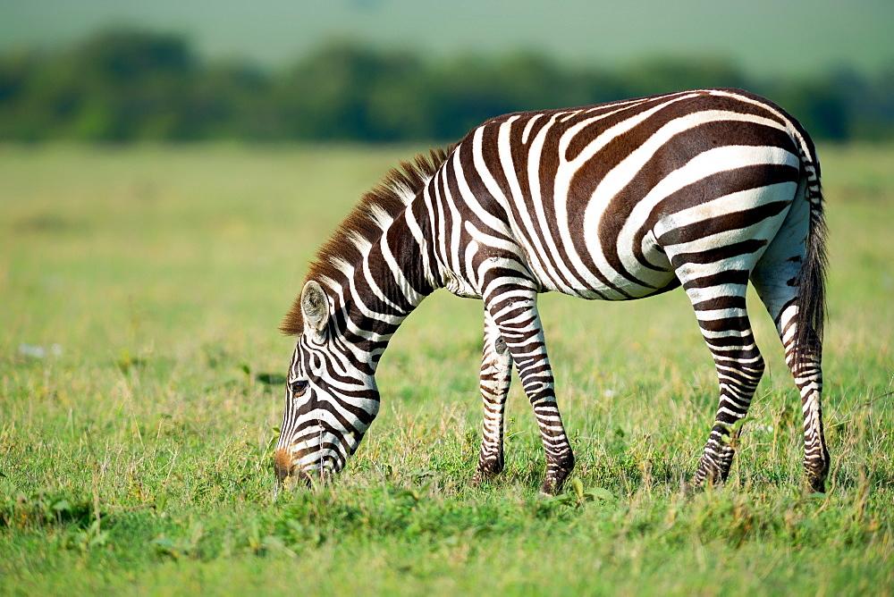 Zebra, Masai Mara, Kenya, East Africa, Africa - 1216-210