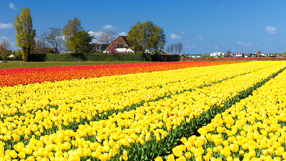 Colourful tulips in Holland, The Netherlands, Europe