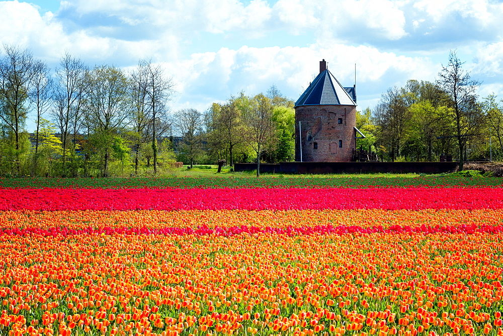Colourful tulips in Holland, The Netherlands, Europe - 1216-220