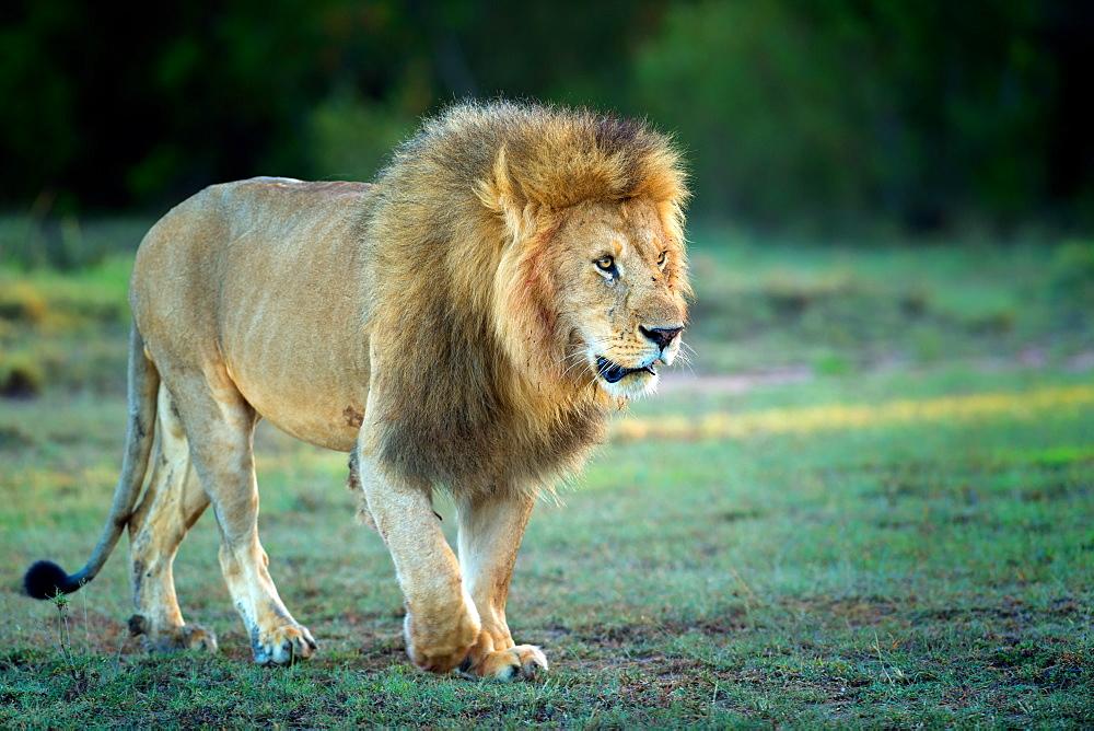 Male lion, Masai Mara, Kenya, East Africa, Africa