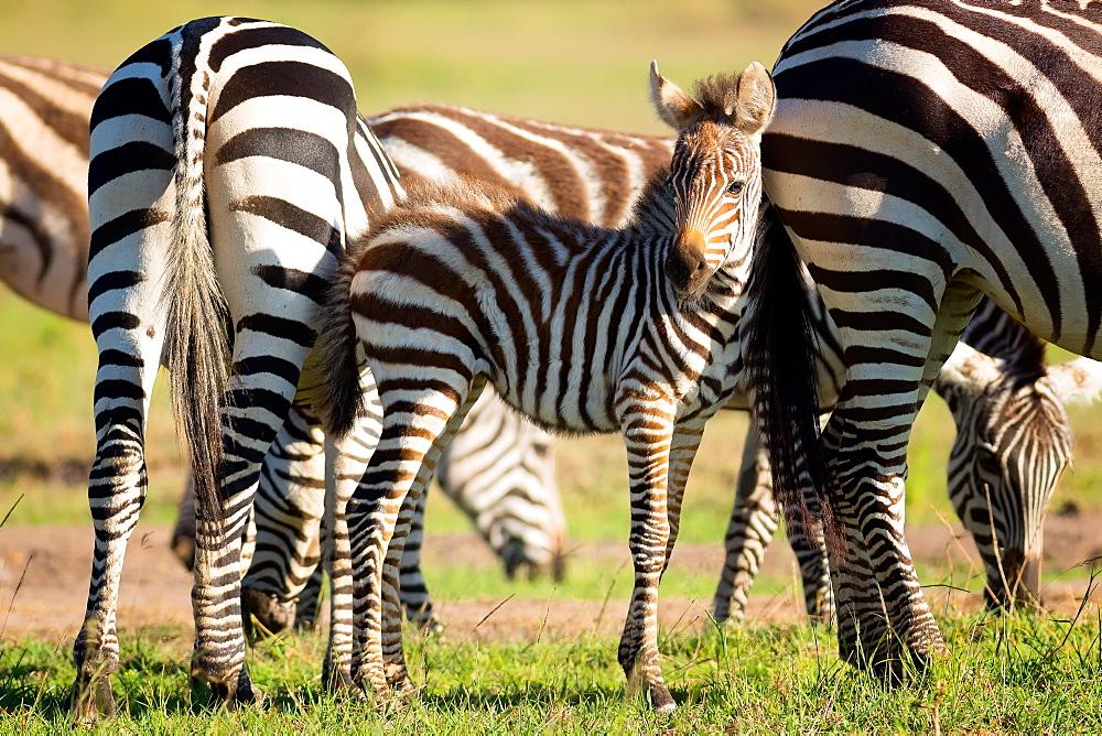 Baby zebra, Masai Mara, Kenya, East Africa, Africa