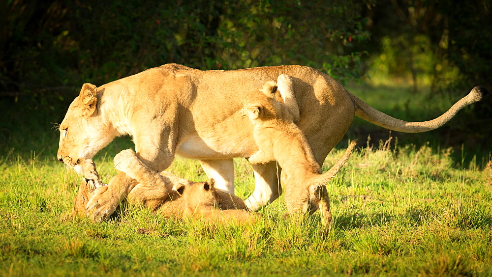 Young lion cubs playing with lioness, Masai Mara, Kenya, East Africa, Africa - 1216-227