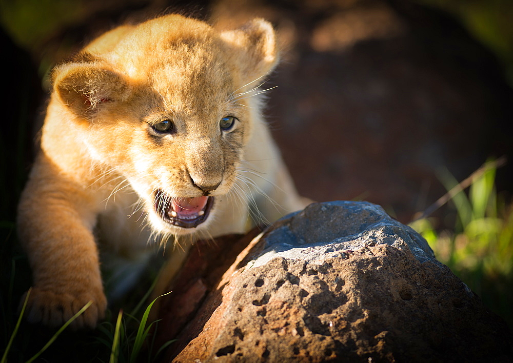 Lion cub, Masai Mara, Kenya, East Africa, Africa - 1216-229