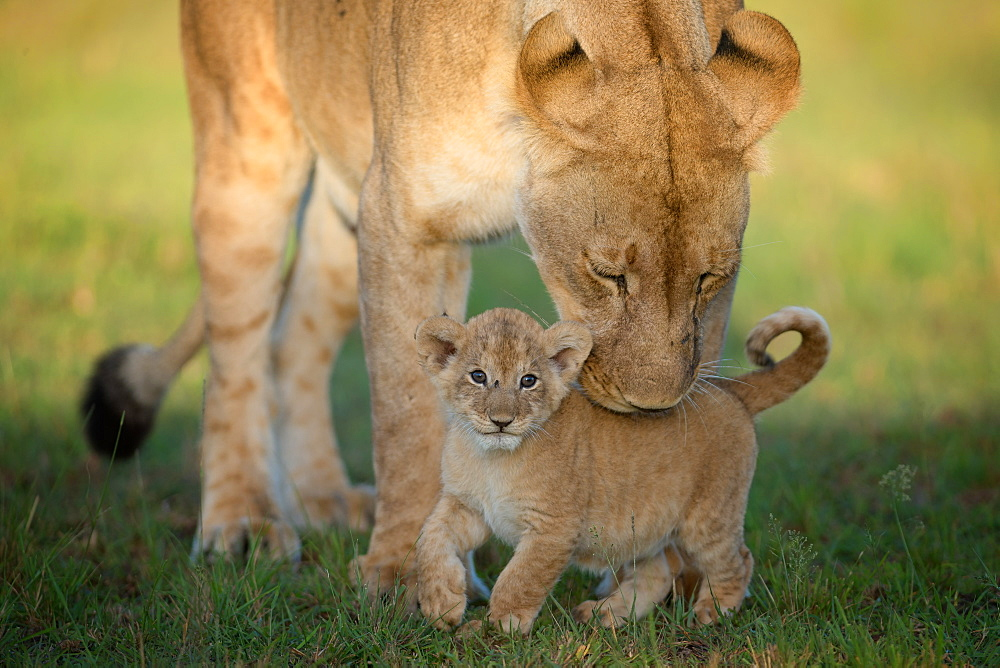 Lioness with cub, Masai Mara, Kenya, East Africa, Africa - 1216-230