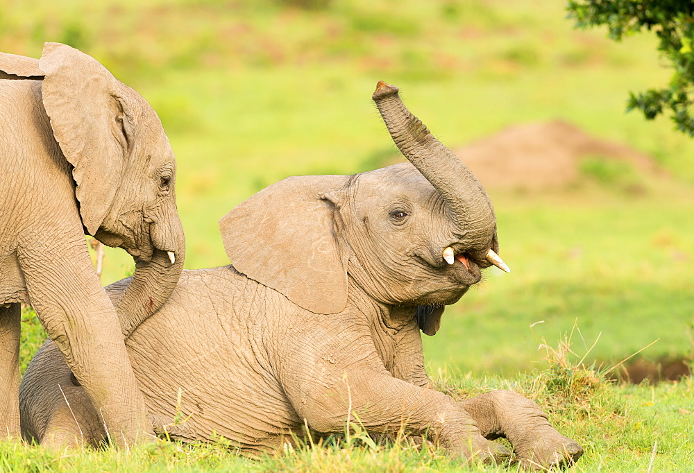 Elephant calves playing in the Masai Mara, Kenya, East Africa, Africa