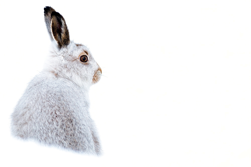 Mountain hare portrait (Lepus timidus) in winter snow, Scottish Highlands, Scotland, United Kingdom, Europe