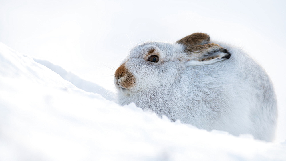 Mountain hare portrait (Lepus timidus) in winter snow, Scottish Highlands, Scotland, United Kingdom, Europe - 1216-254
