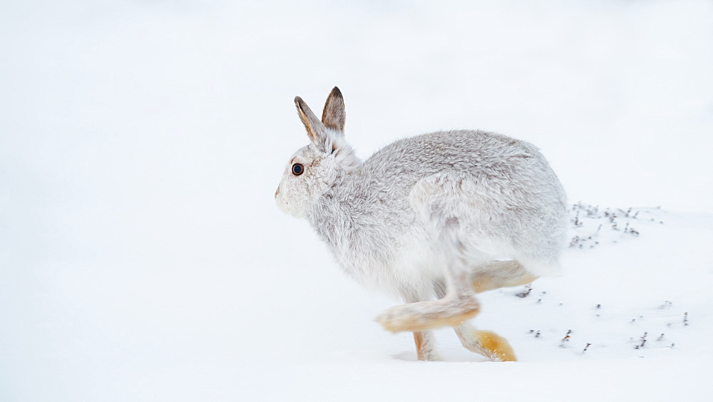 Mountain hare running (Lepus timidus) in winter snow, Scottish Highlands, Scotland, United Kingdom, Europe - 1216-255