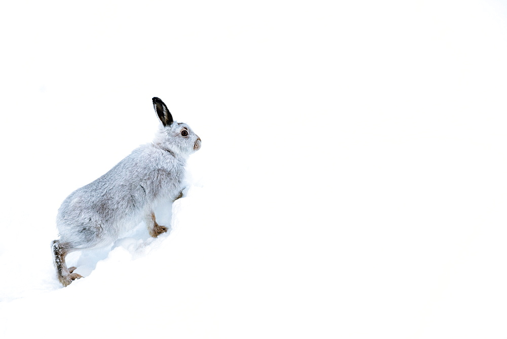 Mountain hare (Lepus timidus) in the Scottish Highlands, Scotland, United Kingdom, Europe