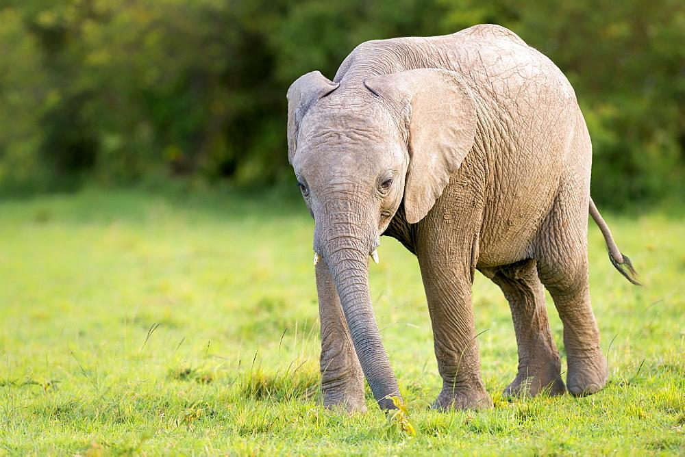 Elephant calf (Loxodonta africana), Masai Mara, Kenya, East Africa, Africa