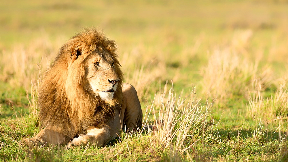 Male lion, Masai Mara, Kenya, Africa - 1216-280