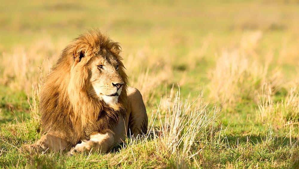 Male lion (Panthera leo), Masai Mara, Kenya, East Africa, Africa - 1216-280
