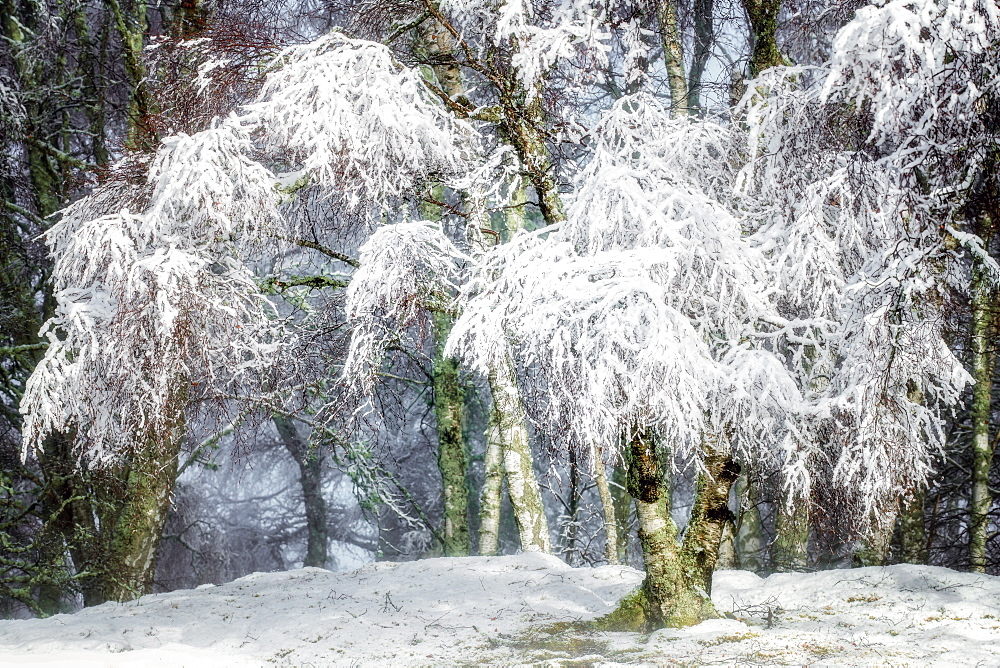 Winter snow in the Cairngorms forest, Scotland, United Kingdom, Europe