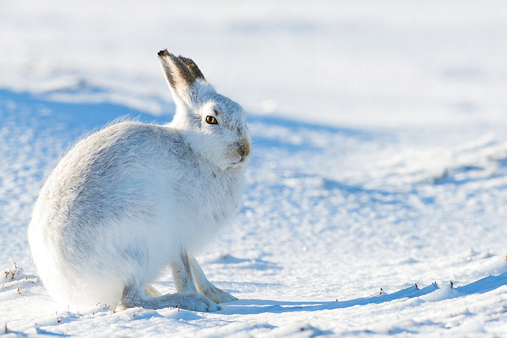 Mountain hare portrait (Lepus timidus) in winter snow, Scottish Highlands, Scotland, United Kingdom, Europe - 1216-287