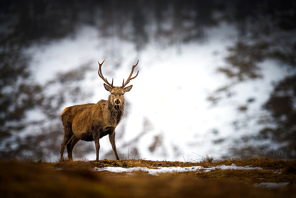 Red deer stag in the snow, Scottish Highlands, Scotland, United Kingdom, Europe - 1216-290