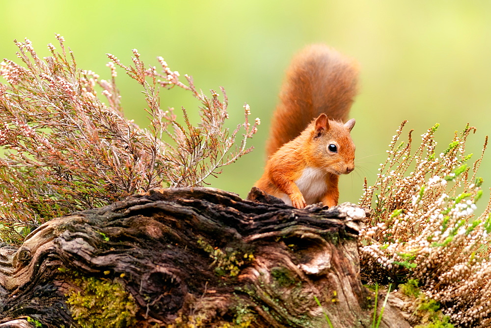 Red squirrel (Sciurus vulgaris), Scotland, United Kingdom, Europe