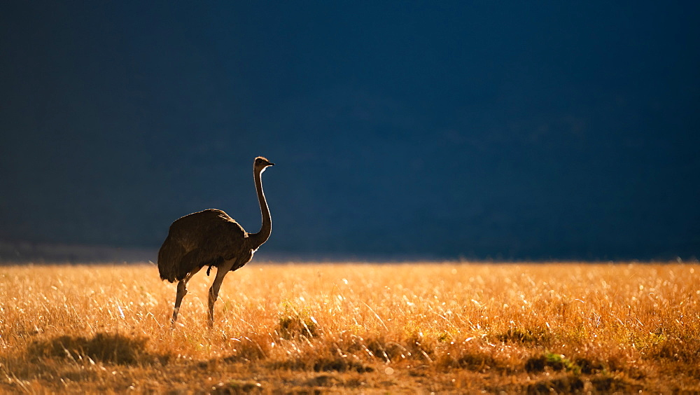 Backlit Ostrich in the early morning light, Masai Mara, Kenya, East Africa, Africa