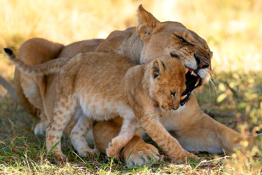 Lioness reprimanding cub, Masai Mara, Kenya, East Africa, Africa