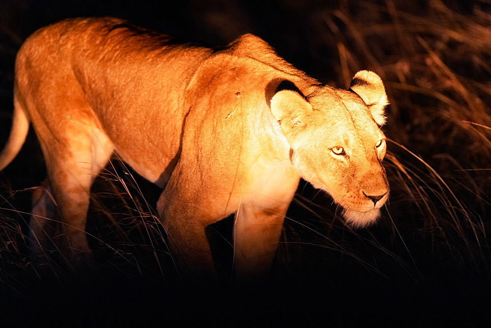 Lioness hunting at night, Masai Mara, Kenya, Africa